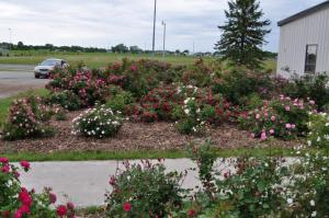 Northern Earth-Kind® Rose Trial, Moorhead, MN